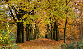 Avenue in Fall. Tree-lined avenue in autumn Royalty Free Stock Images