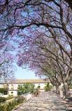 Avenue of flowering acacias Royalty Free Stock Photos