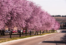 Avenue with flowering trees. Avenue with trees with flowering branches of hazel in spring stock images