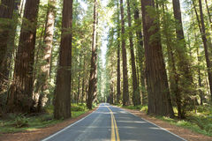 Avenue of the Giants Royalty Free Stock Photo