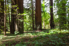 Avenue of the Giants Grove Stock Photography