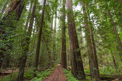 Avenue of the Giants. Looking up at the Coastal Redwood trees along the Avenue of the Giants in Redwood National and State Parks Stock Photo