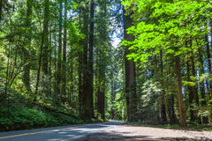Avenue of the Giants Stock Image