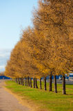 Avenue from larches Royalty Free Stock Images