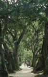 Avenue lined with mango trees, Rio de Janeiro, Brazil. Stock Images