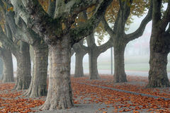 Avenue of London Plantrees Stock Photography