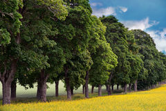 Avenue of maple trees. With rape seed oil field in foreground Stock Photos