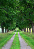 Avenue of maple trees Stock Image