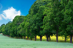 Avenue of maple trees. With seed oil field in background royalty free stock photos