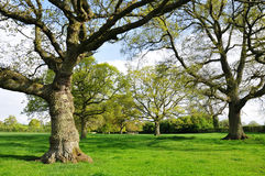 Avenue of Oak Trees. Landscape View of an Avenue of Mature Oak Trees and a Green Field in Spring Stock Images