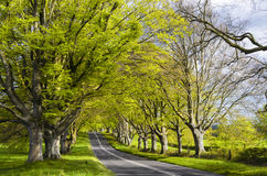 Avenue Of Beech Trees Stock Images