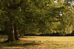 Avenue of old oak trees in last of Summer sun Royalty Free Stock Image