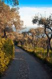 Avenue of olive trees Royalty Free Stock Images
