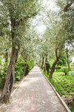 Avenue of olive trees Stock Image