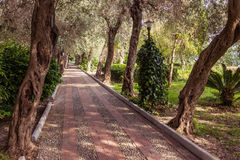 Avenue of olive trees Royalty Free Stock Image