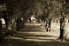 Avenue of olive trees and nun. Avenue of Olive trees with Nun crossing in the distance in sepia tone at mission San Jose Royalty Free Stock Photo