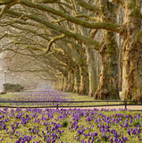 Avenue of plane trees. The trees growing crocuses Stock Images