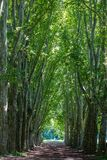 An avenue of Plane trees. Avenue of Plane trees in the National Botanical Gardens of the Natal Midlands, South Africa royalty free stock photo