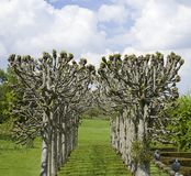 Avenue of pollarded trees in formal landscape Royalty Free Stock Image