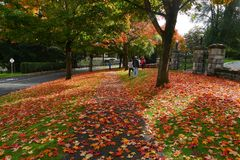 Avenue of Red Leaves under Sunshine Stock Image
