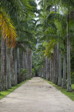 Avenue of Royal Palms Botanic Garden Stock Photography