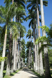 Avenue of Royal Palms Botanic Garden Rio Royalty Free Stock Photo