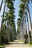 Avenue of Royal Palms Botanic Garden Rio Royalty Free Stock Photo