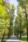 Avenue with tall green trees Royalty Free Stock Photo