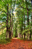 Avenue of tall trees and autumn road Royalty Free Stock Photo