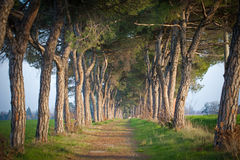 Avenue of trees. Green alley with trees in the park Royalty Free Stock Photo