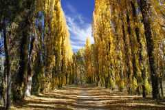 Avenue of trees in autumn. Avenue of poplar trees in autumn in the Eastern Free State, South Africa royalty free stock photography