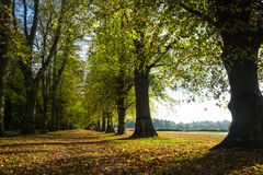 Avenue of trees with autumn foliage, next to field Stock Image