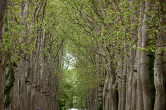 An avenue of trees Royalty Free Stock Photo