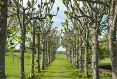 Avenue of Trees. Avenue path through unusual trees and grass lawn. The trees are pleached or pollarded lime trees and the garden is in Mottisfont Abbey stock photos