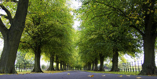Avenue of Trees. In typically English countryside scene Royalty Free Stock Images