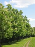 Avenue of white chestnut trees in blossom. Avemue of big chestnut trees in blossom with white flowers and green leaves, on blue sky, road, green grass, spring Royalty Free Stock Image