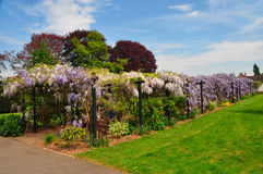 Avenue of Wisteria Stock Images