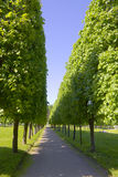 Avenue With The Big Green Trees Royalty Free Stock Image