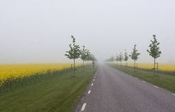 Avenue with yellow fields Stock Photo