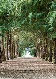 Avenue of yew trees Royalty Free Stock Image