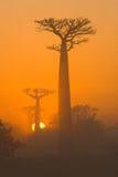 Aveny av baobabs på gryning i den allmänna sikten för mist madagascar Royaltyfria Bilder