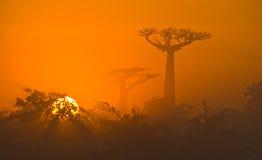 Aveny av baobabs på gryning i den allmänna sikten för mist madagascar Fotografering för Bildbyråer