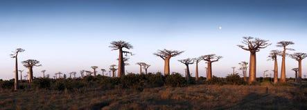 Aveny av baobabsna Arkivbild