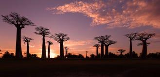 Aveny av baobabsna, Madagascar Arkivfoto