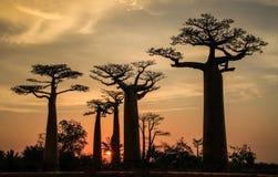 Aveny av baobabsna, Morondava, Menabe region, Madagascar royaltyfri bild