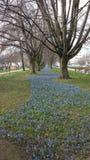 Aveny av blåa blommor Royaltyfria Bilder