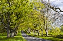 Aveny av bokträdträd Arkivbilder