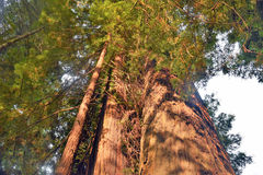 Aveny av jätteredwoodträd Royaltyfri Fotografi
