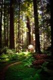 Aveny av jätteredwoodträden Arkivbilder