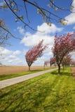 Aveny av körsbärsröda träd Arkivbilder